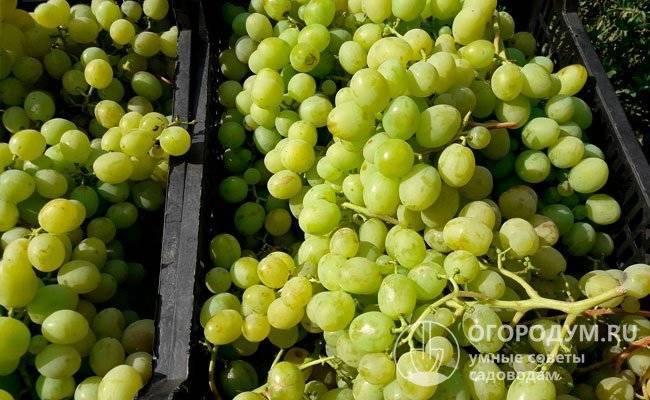 Виноград восторг: виды, положительные качества, описание сорта с фото и видео