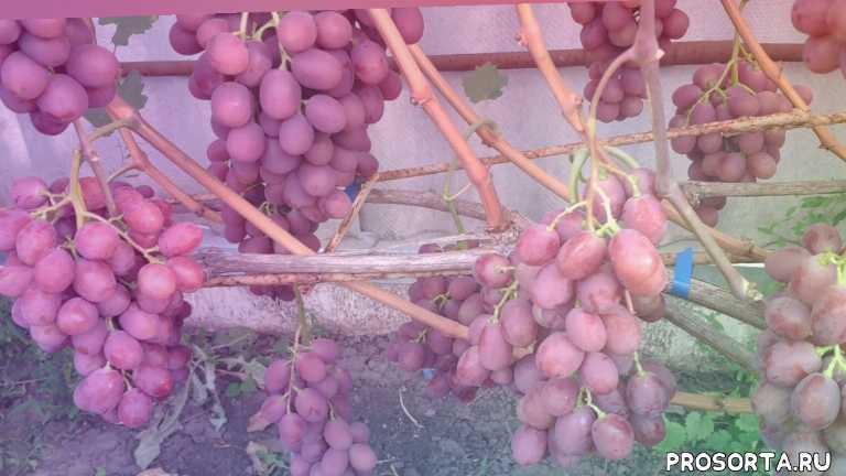Виноград гурман: описание, отзывы, правила выращивания, фото