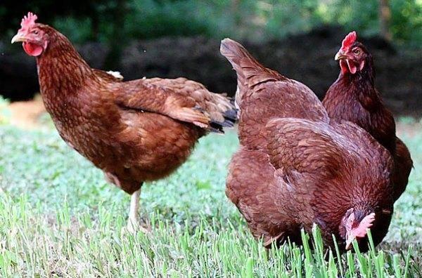 Мясояичные породы кур: фото, описание, таблица, отзывы