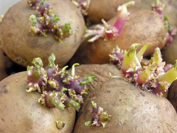 Настойка из ростков картофеля для суставов — приготовление, применение, меры безопасности, отзывы