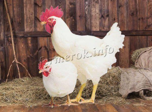 Русская белая порода кур: описание, отзывы, характеристики
