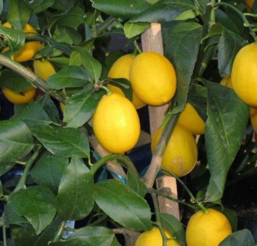 Почему не цветет лимон в домашних условиях и как это исправить