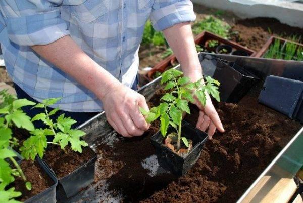 Рассада томатов бледная и тонкая — что делать?