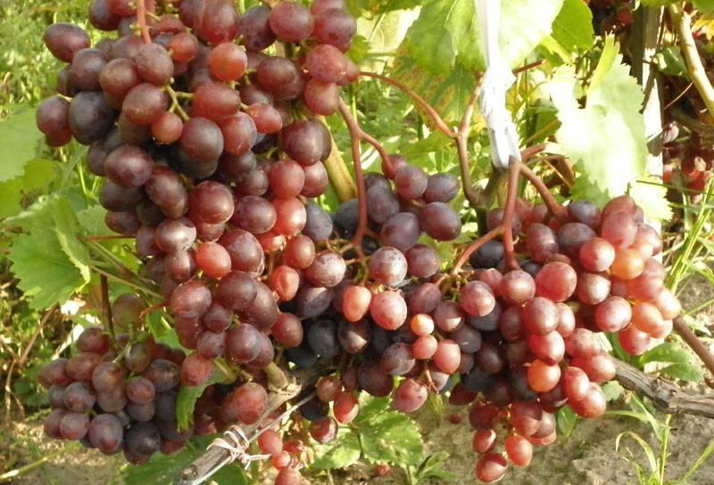 Характеристика винограда кишмиш запорожского