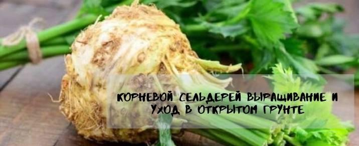 Ароматный корневой сельдерей в открытом грунте: посадка, выращивание, уход