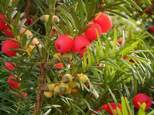 Растение тис ягодный: фото, описание видов, посадка, уход за деревьями ягодного тиса