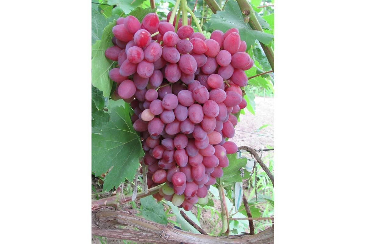 Виноград велес: фото и описание сорта с советами по уходу