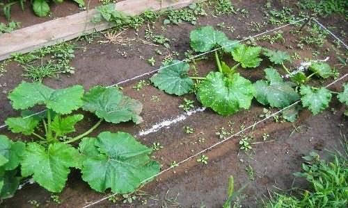 Посадка кабачков, в том числе семенами в открытый грунт, а также особенности проведения на урале