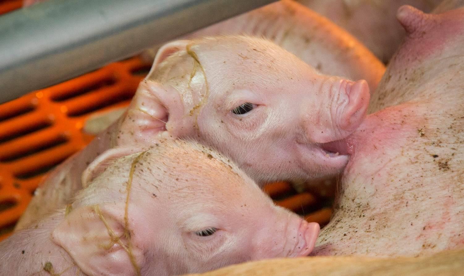 Опорос свиней первый раз в домашних условиях: советы с видео