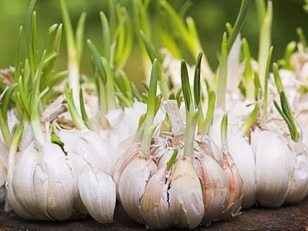 Как вырастить чеснок из бульбочек: посадка, уход и сбор на следующйи год