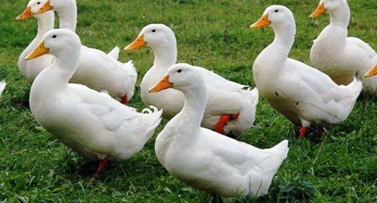 Благоварская утка (кросс): высокопродуктивная башкирская красавица