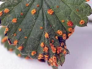 Ржавчина на растениях
