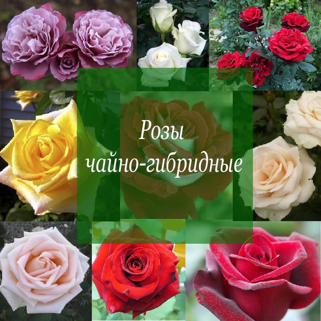 Лучшие сорта чайно-гибридных роз: описания, названия