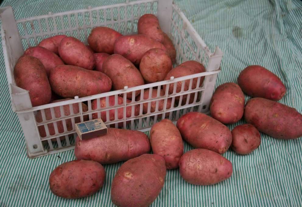 Описание картофеля кумач