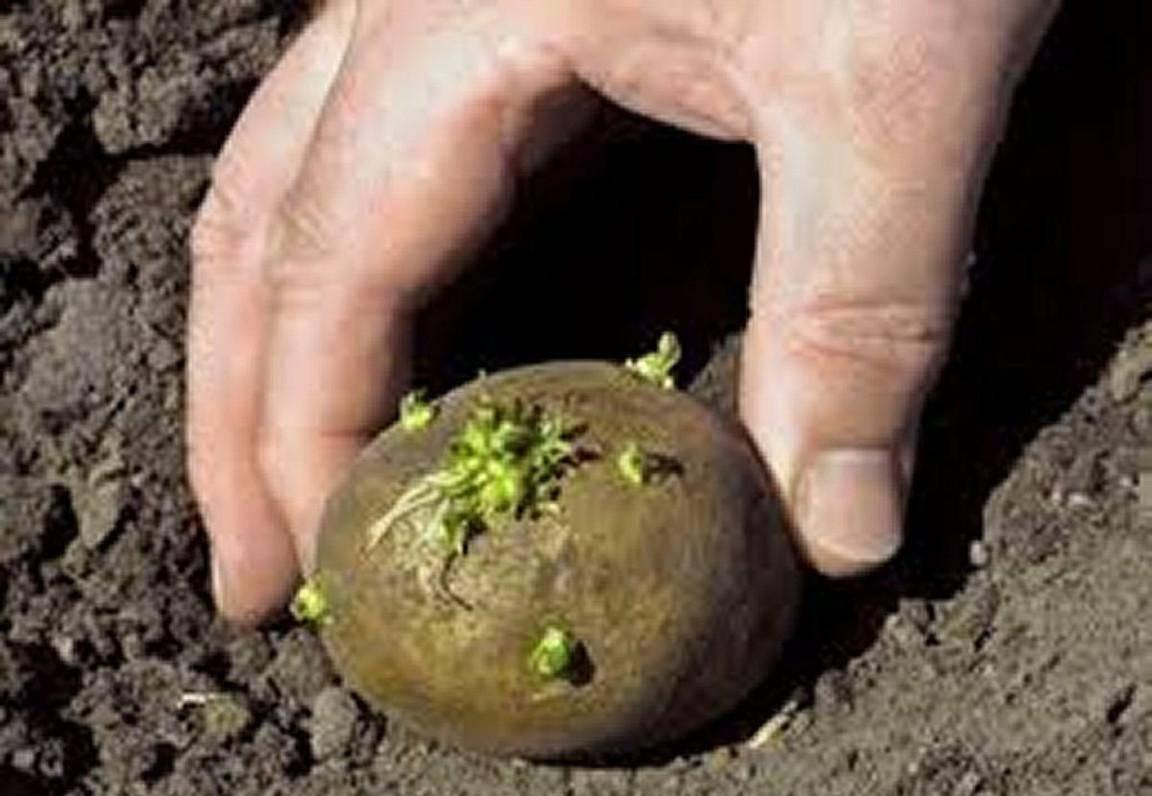 Удобрения для картофеля весной для увеличения урожая, при посадке в лунку: какие лучше вносить весной и осенью в почву и для внекорневой подкормки