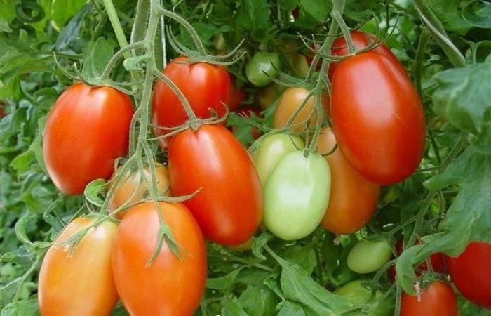 Томат кенигсберг: описание сорта, фото, отзывы, урожайность, характеристика, выращивание