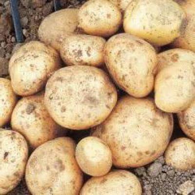 Картофель джелли: описание сорта, фото, характеристика, отзывы
