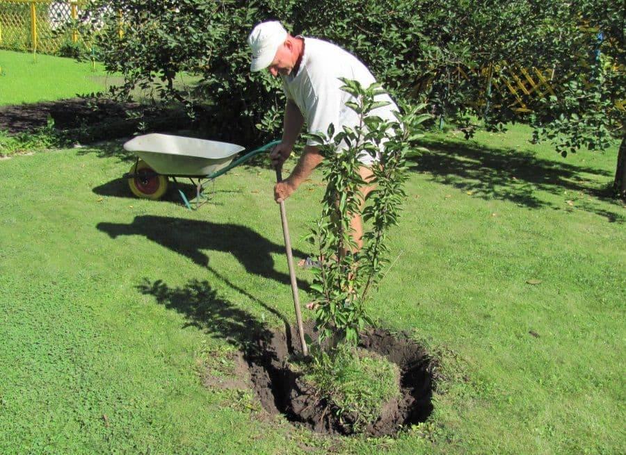 Посадка яблони весной саженцами: пошаговая инструкция