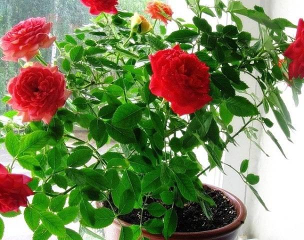 Комнатная роза: как ухаживать в горшке и домашних условиях