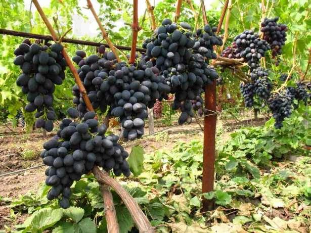 Виноград кишмиш черный: описание и характеристики сорта, выращивание, разновидности