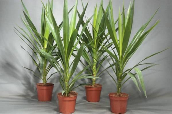 Пальма юкка: уход в домашних условиях. советы для начинающих цветоводов