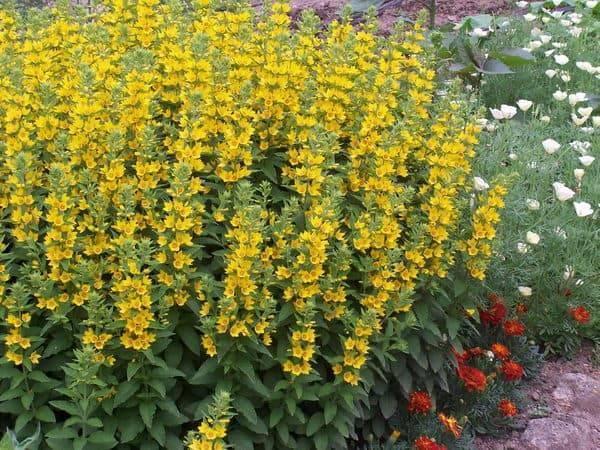 Цветок «Вербейник»: описание, виды, фото, посадка и уход