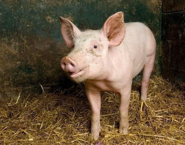 Разведение свиней как бизнес| готовый бизнес план