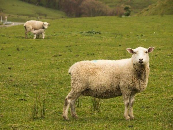 Окот овец: беременность и роды