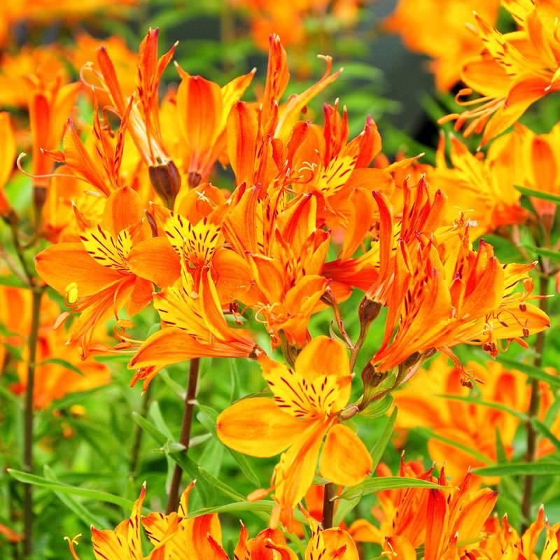 Альстромерия: посадка и уход, выращивание цветка в открытом грунте