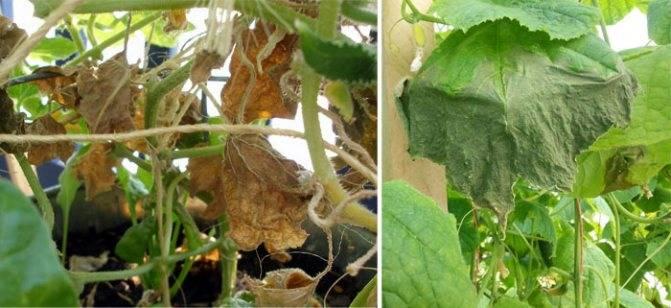 Огурцы: почему желтеют в теплице и на огороде