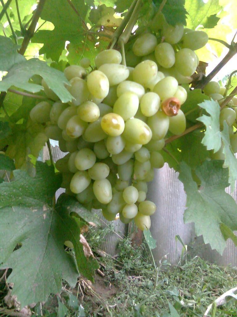 Выращивание винограда дарья