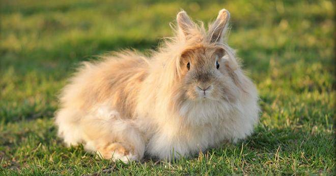 Миксоматоз у кроликов, вся информация о болезни, лечении и профилактике 2021