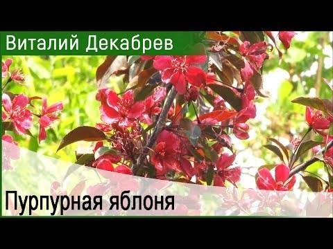 Яблоня маковецкого: фото и описание декоративного сорта и отзывы о нем