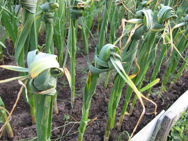 Весной желтеет чеснок: причины, подкормки
