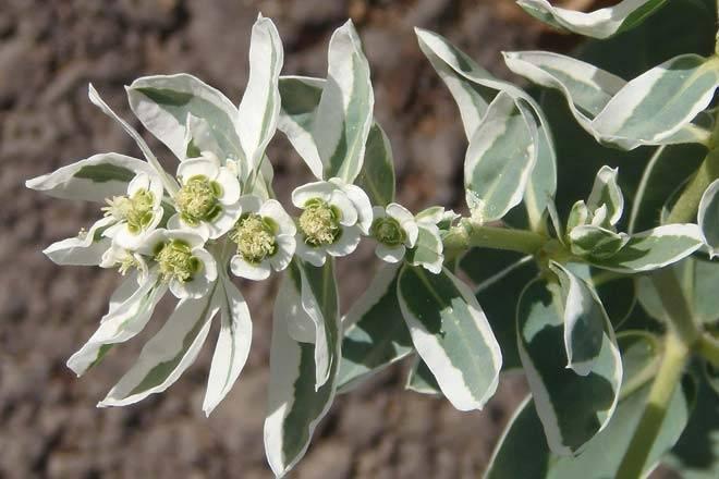 Нежность белых соцветий — молочай горный снег: выращивание из семян и черенков, уход за растением