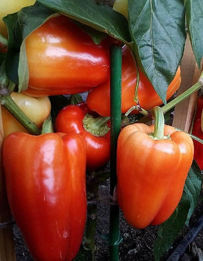 Перец халиф – характеристика и описание сорта, фото, урожайность, отзывы огородников, видео