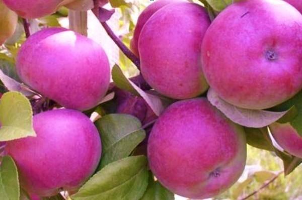 Яблоня спартан: описание сорта, фото, отзывы