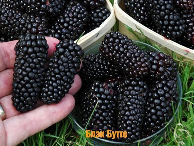 Описание ежевики сорта блэк сатин, особенности выращивания и ухода