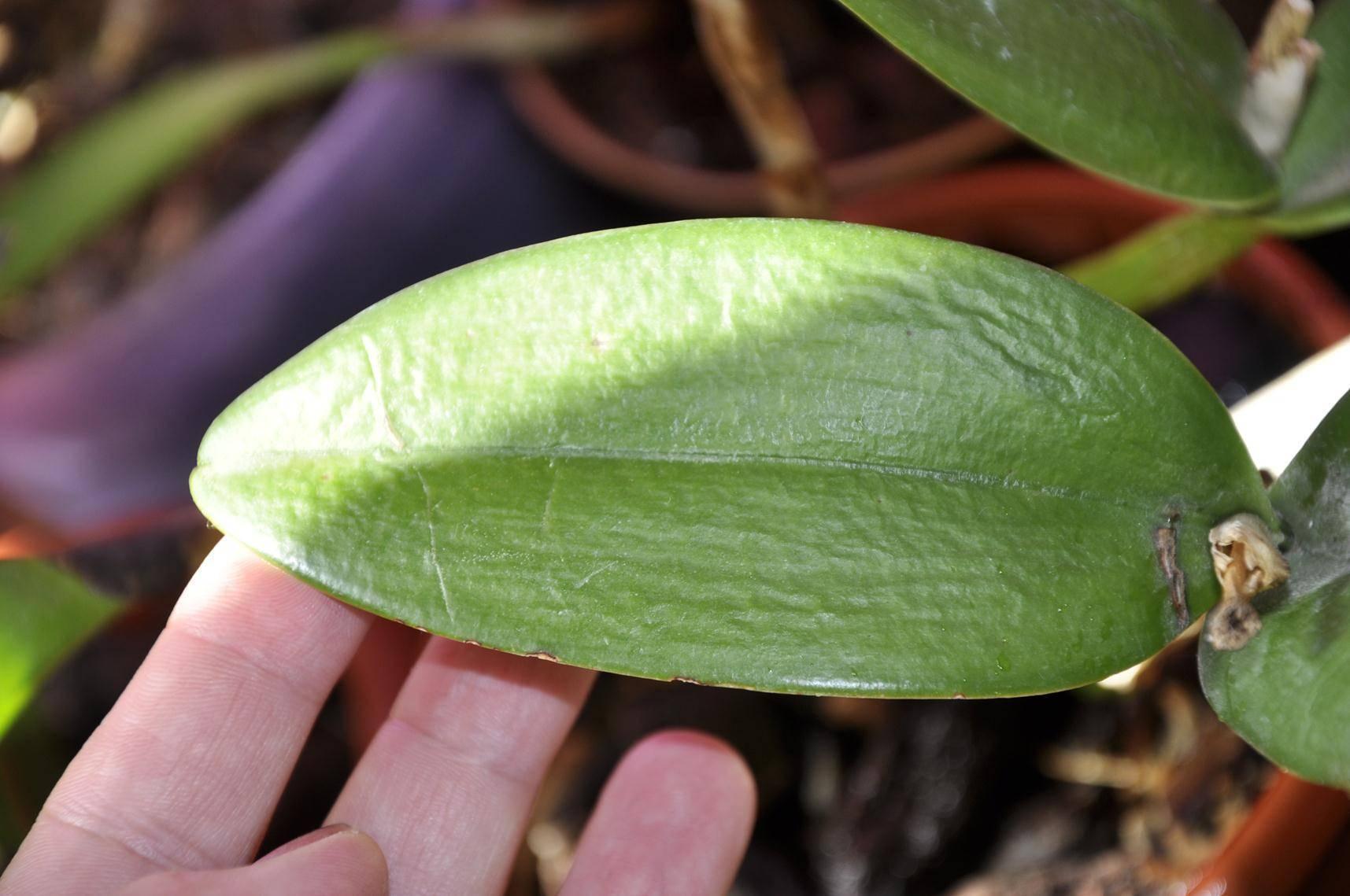 Болезни листьев орхидей фаленопсис и их лечение с фото: почему они чернеют, трескаются, опадают, скручиваются, слишком крупные и другие проблемы