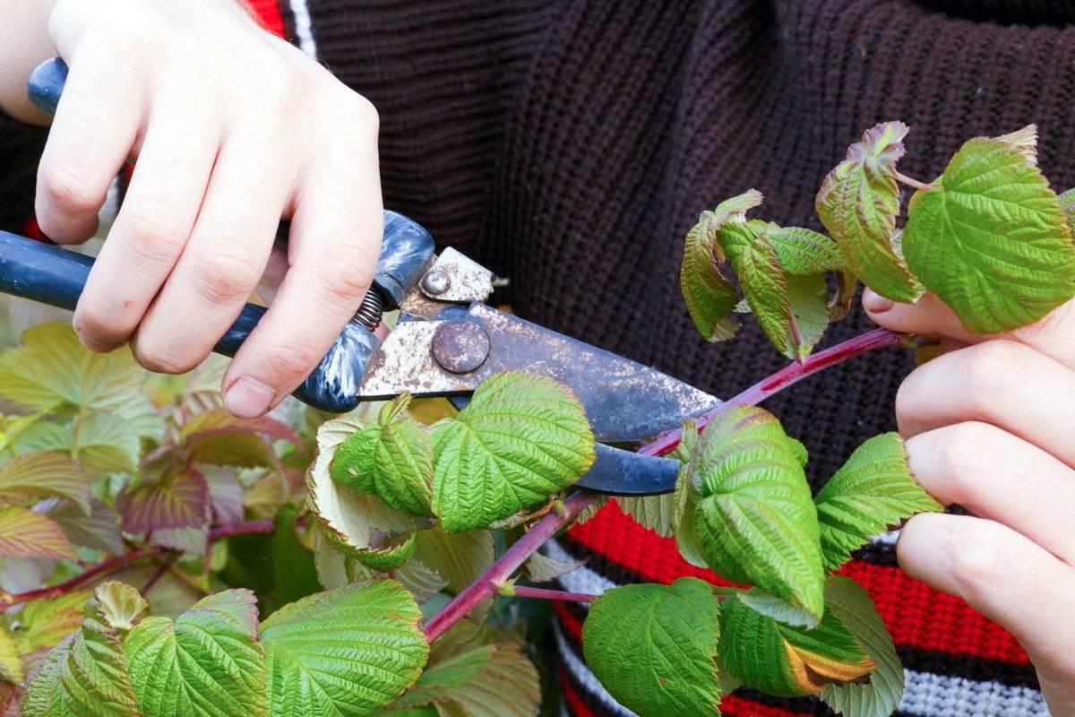 Ремонтантная малина: посадка и уход, подкормка и обрезка. весенний уход за ремонтантной малиной