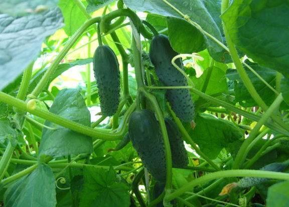 Огурец «паратунка f1» — описание характеристик сорта, посадка, уход, урожайность и выращивание из семян (фото)