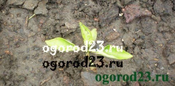 Почему у перца скручиваются листья: причины, что делать, фото