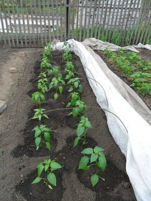 Посев семян перца в открытый грунт летом, подготовка почвы