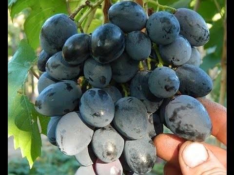 Виноград фурор: описание сорта, правила посадки и ухода, отзывы садоводов