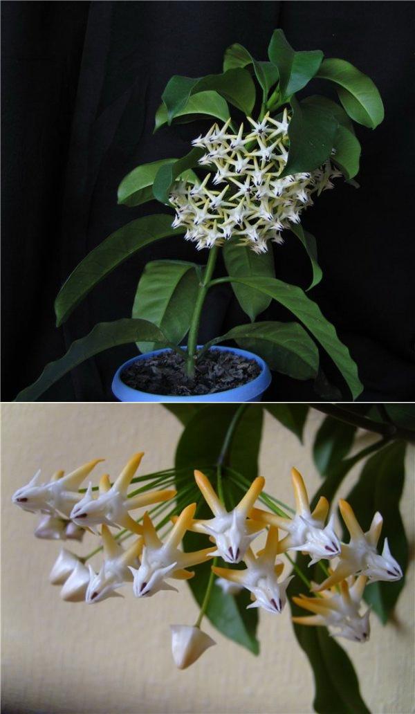 Цветок хойя: правильный уход в домашних условиях