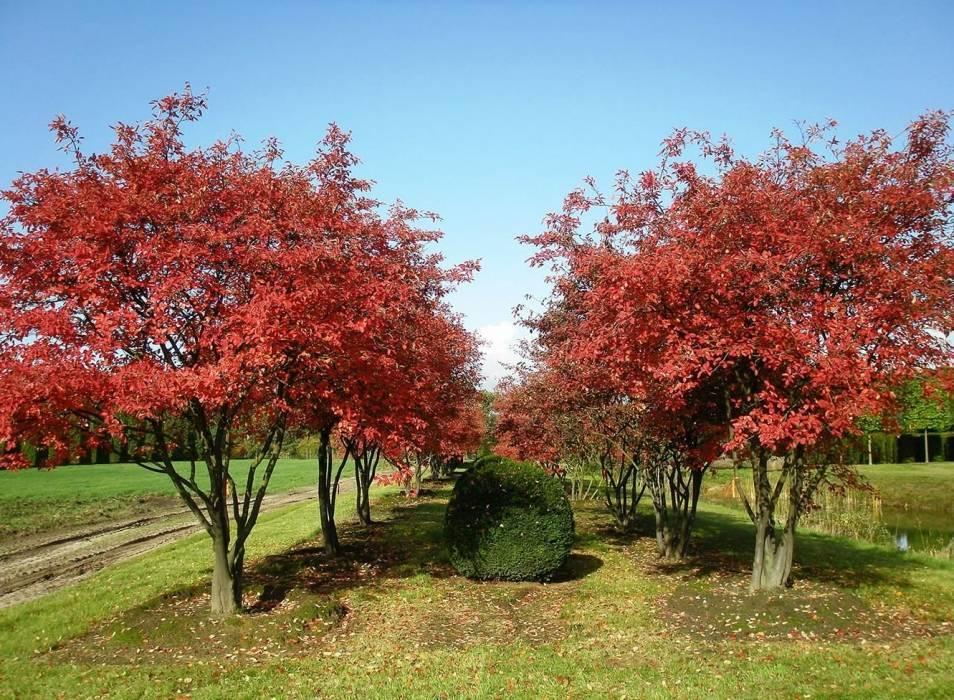 Ирга: посадка и уход в открытом грунте, выращивание и размножение