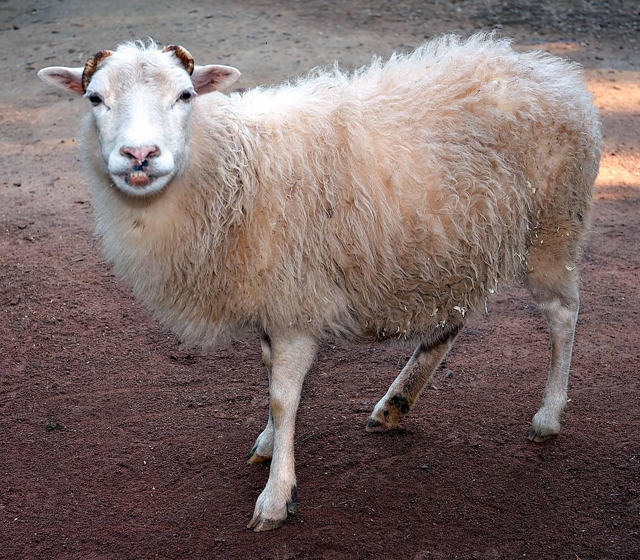 Какие породы овец и баранов бывают