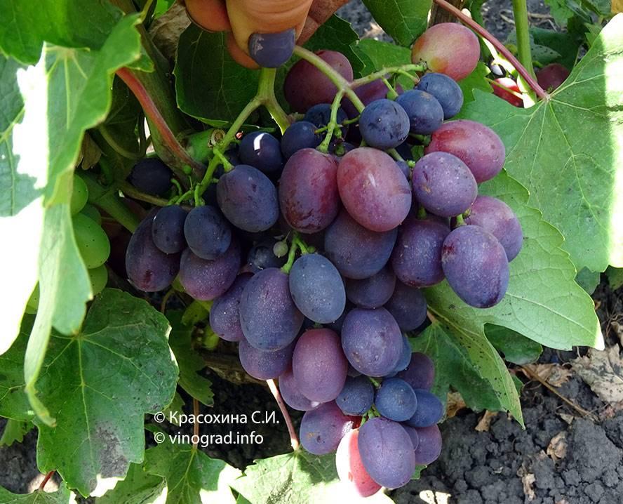 Виноград каталония: особенности и характеристики сорта. отзывы виноградарей и садоводов
