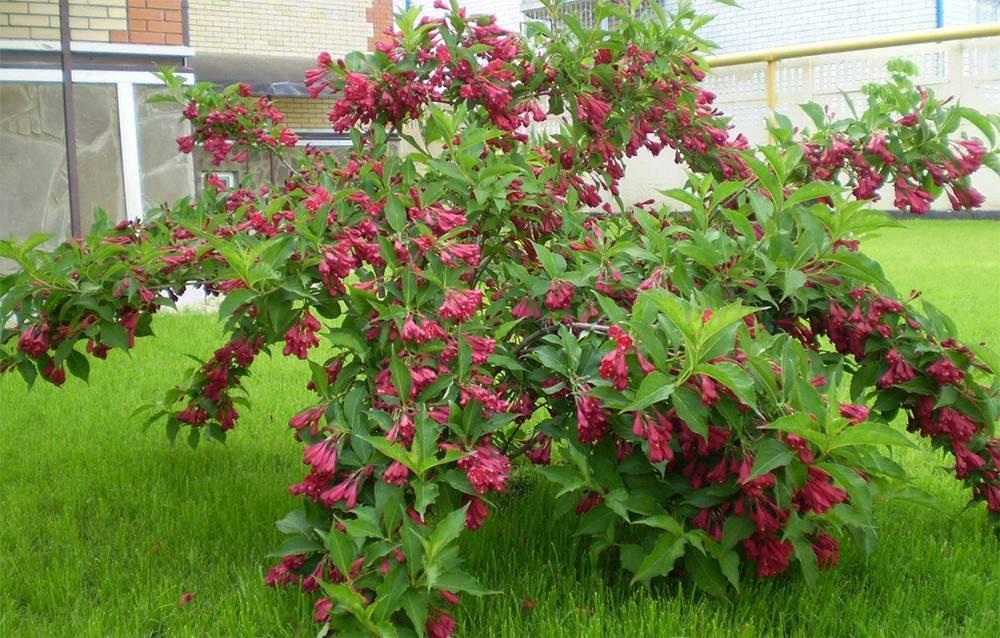 Вейгела — виды и выращивание. посадка, уход, сорта. фото — ботаничка.ru