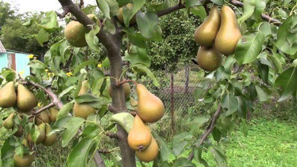 Грушевое дерево сорта «Аббат Феттель»
